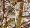 Sparrow Portrait (John Kocijanski) Tags: bird sparrow animal nature wildlife bokeh whitethroatedsparrow canon70300mmllens canon7d