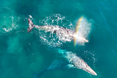 Blowing a Rainbow (pbuschmann) Tags: malibu california unitedstates greywhales migration rainbow couple