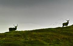 Stalkers' dream. (Fr Paul Hackett) Tags: deer hillside cloudy laggan grass alert
