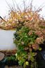 Autumn Flowers (Jocey K) Tags: newzealand nikond750 southisland christchurch tree autumn leaves pots fence garden
