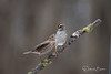 And furthermore...! (dbifulco) Tags: hofi nature wtsp aggression behavior bird birds branch cold female housefinche newjersey tree whitethroatedsparrow wildlife winter
