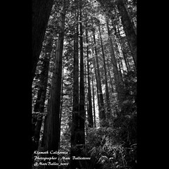 Trees of Mystery , Klamath , Klamath California , California , Northern California , Del Norte County , Humboldt , Humboldt County , Marc Ballesteros , America , Redwood Forest ,Hiking , Hiker , Hiking Trails (Marc Ballesteros) Tags: marcballesteros ballesteros klamath klamathcalifornia delnortecounty usa america california norcal northerncalifornia art artwork photographer photography tourism forest outdoors nature hike hiking hiker adventure exploring outdoor treesofmystery humboldt humboldtcounty filam filams filipino pilipino filipinos pilipinos tour touring travel traveling sightseeing bodybuilding bodybuilder ripped shredded filipinoamerican filipinoamericans wheretogoincalifornia wheretogoinnortherncalifornia