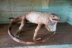 The New Dog (babyfella2007) Tags: taxidermy iguana animal lizard old stuffed large antique jason taylor winnsboro sc south carolina collection tail zoo specimen