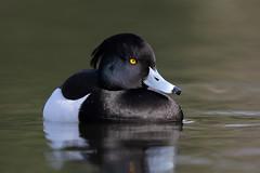 Tufted Duck 9P1A3260a (Adrian Dancy) Tags: nature wildlife wildbird duck divingduck diver tuftedduck tuft lake clowespark adriandancy salford aythafuligula serene blackandwhite