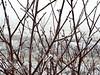 Branches (Robert Cowlishaw (Mertonian)) Tags: deepseeksdeep misty foggy cold photophari closeup morning red ice winter robertcowlishaw canonpowershotg1xmarkiii markiii g1x powershot canon mertonian frosty branches
