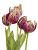 Decaying tulips (Gill Stafford) Tags: flower flora cyclamen tulip bunch decay flowerhead'flowersplantindooroutdoorcloseup'clos flowerhead'flowersplantindooroutdoorcloseup'closeup'macro