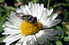 A fly on a flower (TJ Gehling) Tags: insect diptera fly syrphidae hoverfly plant flower asterales asteraceae daisy cerritocreek creeksidepark elcerrito