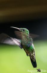 _DSC6750.jpg (Augusto Ilian G) Tags: alejandria colibries pajaros