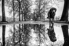 Morning walk (Mustafa Selcuk) Tags: dogs paris parisienne parisian blackandwhite bnw bw noiretblanc street streetphotography monochrome monochromatic fujifilmfrance fujifilm xt2 16mm wideangle neb reflections reflection photosdesrues