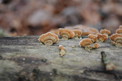 fungi (Frau Koriander) Tags: fungus fungi pilz pilze baumpilze baumpilz nature natur mushroom mushrooms darmstadt waldkunstpfad nikkor35mmf2d nikond300s wald waldspaziergang woods forest baumstamm baumstammmitpilzen details bokeh dof