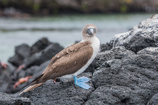 Blue-footed Booby D85_1746.jpg