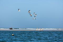 Pélicans (hubertguyon) Tags: sénégal senegal afrique africa ouest west sahel langue barbarie oiseau bird pélican