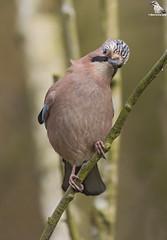 "Eurasian Jay (Garrulus Glandarius) (Mick Erwin) Tags: nikon afs 600mm f4e fl ed vr lens d850 ""mick erwin"" stoke trent staffordshire wildlife nature ""nikon d850"" jays eurasianjay jaybird eurasian jay garrulus glandarius corvid"