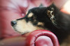 2/12/B taivas - the red chair 19/100x 2018 (sure2talk) Tags: taivas finnishlapphund theredchair snooze peaceful resting nikond7000 lensbaby lensbabycomposerpro lensbabylove sweet50optic shallowdof 100xthe2018edition 100x2018 image19100 100shotswithalensbaby 19100x2018 12monthsfordogs 12monthsfordogs18 212b flickrfriday theresnoplacelikehome