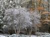 Winter woodland (Tim Ravenscroft) Tags: woodland trees snow hasselblad x1d hasselbladx1d massachusetts