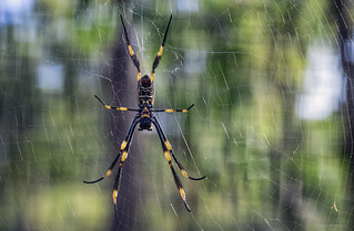 checked spider