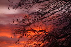 Orange and White Sunset (Dave Roberts3) Tags: newport wales gwent landscape winter branches branch berries berry naturethroughthelens