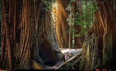Sequoia (1seeu) Tags: travel cinematography sunrays parks redwoods
