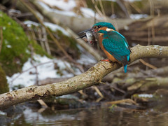 P3049832 (neptunus1960) Tags: alcedo atthis kingfisher