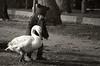 un nuovo amico (pamo67) Tags: pamo67 anewfriend cigno swan bambino child lungolago lakefront bn blackwhite bw bianconero pasqualemozzillo
