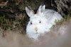 Mountain Hare (Lepus timidus)- 26 Jan-17-24710 (tim stenton www.TimtheWhale.com) Tags: hare islands landmammal lepustimidus mainland mammal mountainhare scotland shetland shetlandisles tingwall