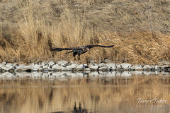Juvenile Bald Eagle fishing attempt sequence - 1 of 8