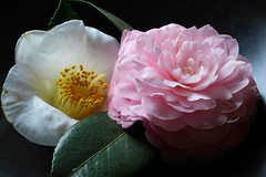 Camellias (FoxInTheWoods) Tags: camellia flower blossom white pink flowershow towerhillbotanicgarden botanicgarden petals stamen pistil