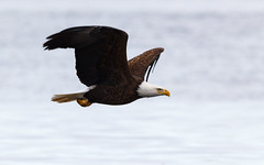 Stunning Eagle Flyby (TroyMarcyPhotography.com) Tags: 20windchill action americanbaldeagle beautiful bird canon400mmf56l canon7d cloudy illinois iowa january mississippiriverbaldeagles2018 overcast cold nature wildlife