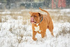 SHA_0287 (andreyshkvarchuk) Tags: dog doguedebordeaux mastiff winter snow 7d2 702004lis