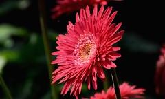 2018-01-31_10-41-39 (SHAN 1973) Tags: gerbera redflower red d5300 70mm300mmnikkor nikkor