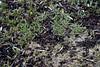 Unter dem Olivenbaum; Luz (Lagos), Algarve (11) (Chironius) Tags: luz algarve portugal frucht fruit frutta owoc fruta фрукты frukt meyve buah blau asterids lamiids lamiales lippenblütlerartige oleaceae ölbaumgewächse ölbäume olea olivenbaum baum bäume tree trees arbre дерево árbol arbres деревья árboles albero árvore ağaç boom träd