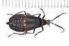 2017-11-30bza_2904c (mcclarinj) Tags: dimplewing lampyridae baeza napo ecuador jimmcclarin