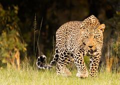 Male Leopard (Photobirder) Tags: maleleopard eastafrica kenya masaimara leopard