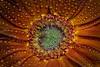 orange (marcello.machelli) Tags: arancio arancione orange flower fiore daisy margherita begoia begonia droplets gocce water acqua nikon macro nikond810 lighpaintng lightpainting sigmaapomacro15028 viidcolours coloriaccesi wow