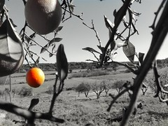 Just an Orange on the tree... (xaney89) Tags: orange tree blackandwhite ribatejo portugal laranja árvore random