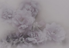 roses in grey ~  Life is a Rainbow (Ani Carrington) Tags: grey gray rose roses soft pastel petals dreamy textured stilllife
