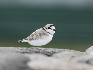 Malaysian Plover (male)