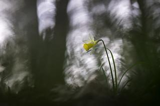 # Narcissus pseudonarcissus #