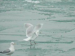 Glaucous Gull (Ben_The_Hen) Tags: gull seagull lake water illinois ice bird birding