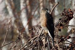 Adult Sharp-shinned Hawk (jlcummins - Washington State) Tags: bird raptor hawk sharpshinnedhawk yakimacounty washingtonstate home backyardbirds canon tamronsp150600mmf563divcusd