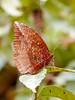 Pointed Palmfly (chaz jackson) Tags: pointedpalmfly elymniaspenanga nymphalidae satyrinae butterfly insect vietnam asia macro nature