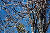 Tree Limbs And Branches. (dccradio) Tags: lumberton nc northcarolina robesoncounty outside outdoors bluesky sky tree trees treelimbs treebranches branch sticks branches nature natural spring bud budding greenery