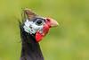 Guineafowl (Simon Stobart) Tags: guineafowl domesticated numida meleagris northeast england naturethroughthelens coth5 ngc npc