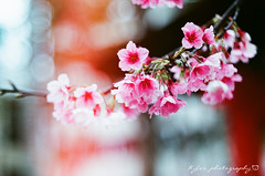 Sakura (紅襪熊(・ᴥ・)) Tags: pentacon av 2880 pentaconav2880 80mm f28 pentaconav80mm28 80mmf28 fujica st705 m42 底片機 底片 銀鹽 fujifilm fuji fujicast705 film photography sakura 櫻 櫻花 cherryblossoms pink flower flowers blossom blossoms castle cherry cherryblossom cherryblossomfestival cherrytree cherrytrees garden light macro nature park plant sky spring travel tree trees white さくら サクラ 春 桜 花 花見 賞櫻 日本 japan 粉 粉紅 bokeh fujicolor業記録用カラーフィルム 400 fujicolor 業 記録用 カラー フィルム 業務用 富士