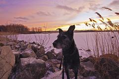 Walking Buddy (Tiara Rae Photography) Tags: dog pet sunset rescue reeds rocks grasses sky clouds orange yellow pink nebraska lake frozen winter omaha landscape
