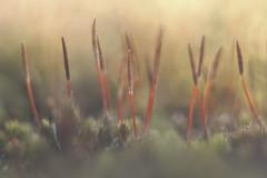 ruig haarmos- (buntehof) Tags: ruighaarmos kootwijkerzand veluwe macro helios