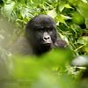 Casi humano (Nicolás Merino) Tags: uganda safari animal gorilla montaña montain wildlife nature canon africa gorila 50d ape primate