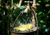 Yellow bird having an energetic bath in a bucket (Wade Tregaskis) Tags: birdbath bucket faucet foliage speciesunknown splashing tap unidentifiedspecies