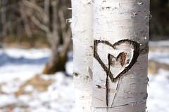 love (Rosmarie Voegtli) Tags: love heart m etangdelagruère birch birke herz liebe jura hiking sign tag zeichen ritzen baumrinde bark marsh moorsee frozen snow gefroren schnee mood still silent parcdudoubs