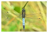 Blue Skimmer. (Graham Pym) Tags: nikon wings blue body skimmer odonata eyes insect nature